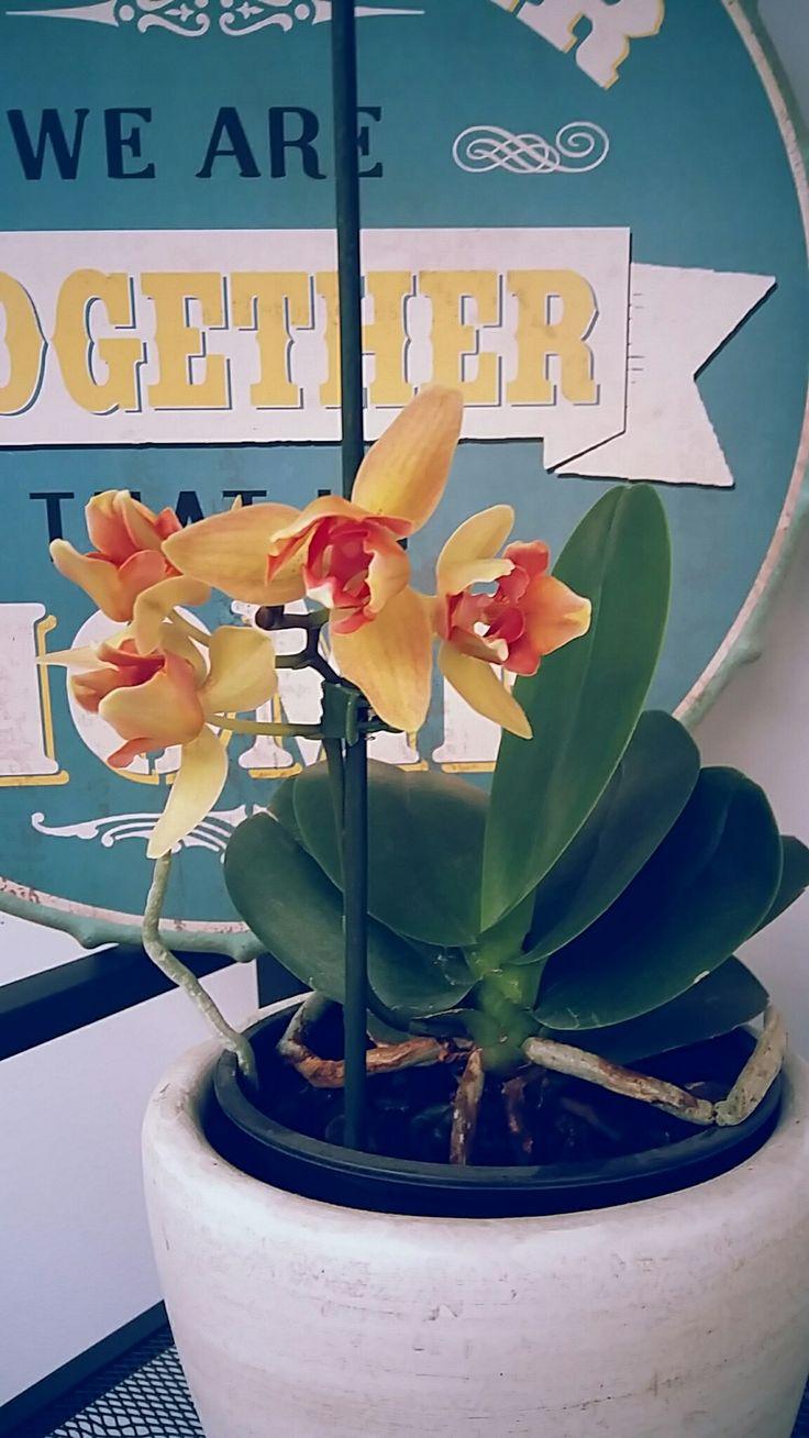 Premiere repousse d'orchidée