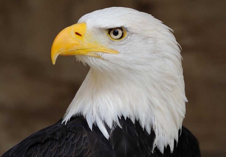 EAGLE THE NATIONAL BIRD OF AMERICA