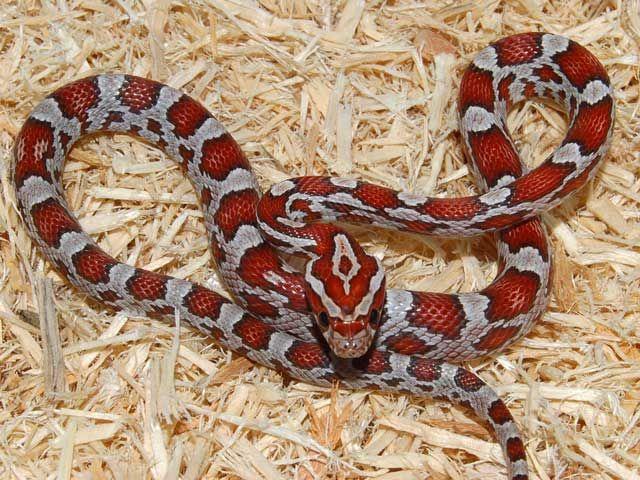 Poisonous Snakes York New Non