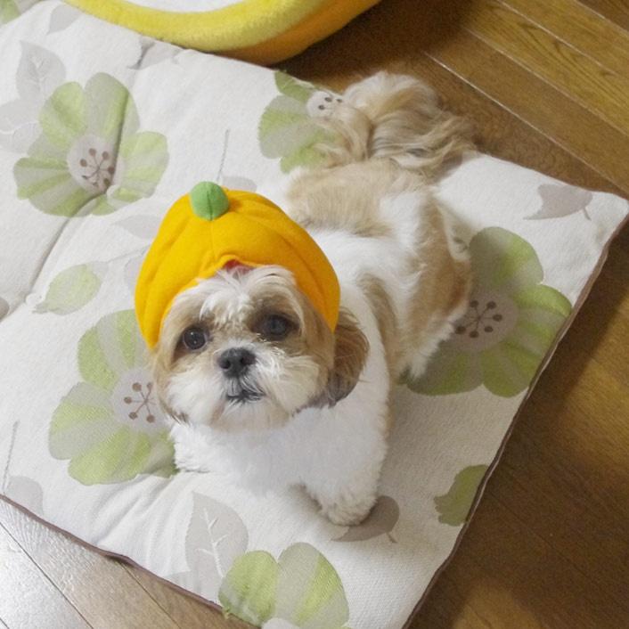 カボチャぽんず  #shihtzu   #shih -tzu  #dog