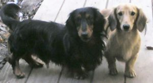 BEAUTIFUL SHOW DOXIES is an adoptable Dachshund Dog in Morse Mill, MO. Prettiest new kids on our block, these boys are a year old and are wonderful examples of their breed. the english cream has a lig...