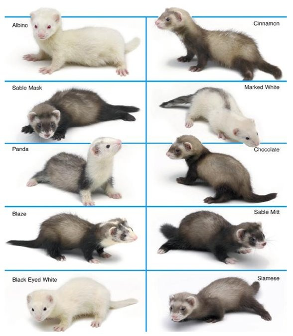 I have an Albino, Cinnamon, Sable Mask, Marked White, Panda, and a Blaze <3
