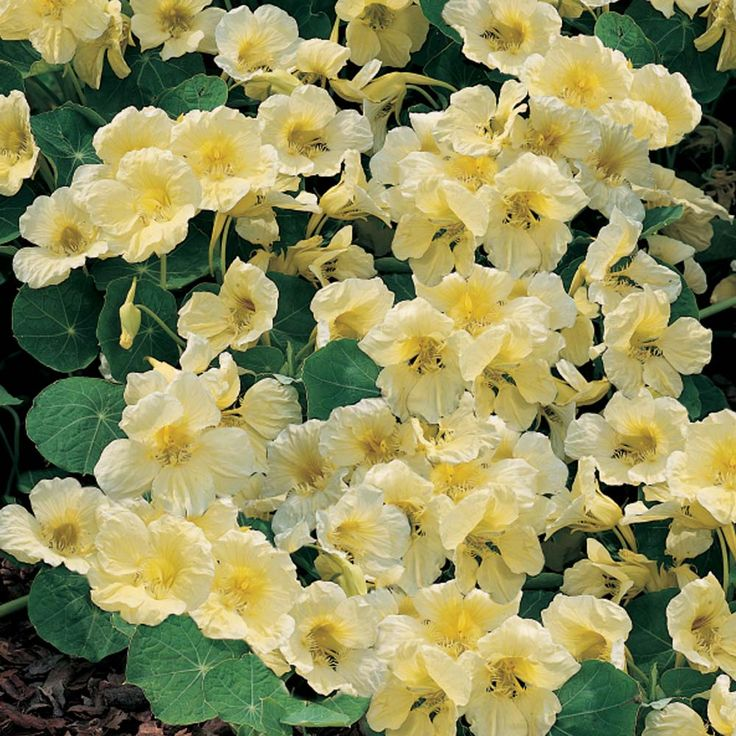 Nasturtium 'Milkmaid' - Half-hardy Annual Seeds - Thompson & Morgan