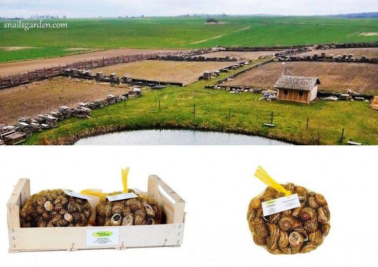 Hodowla ślimaków, reproduktory ➡ 0,20 zł/szt. Umowa! - Professional Forum…
