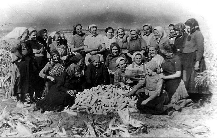 A téeszasszonyok kukoricatörés idején begyüjtik a termést. 1960-as évek.
