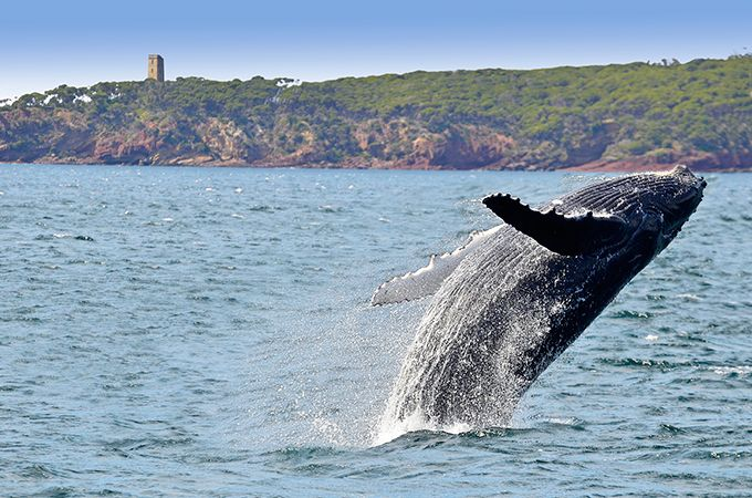 Be sure to go whale watching when you visit Eden – Image by Warwick Kent