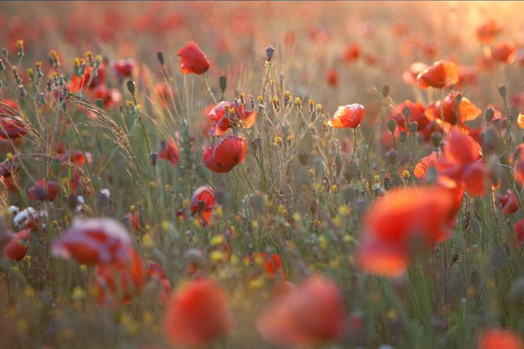 Hazy Poppy Field Wallpaper Mural, custom made to suit your wall size by the UK's No.1 for wall murals. Custom design service and express delivery available.