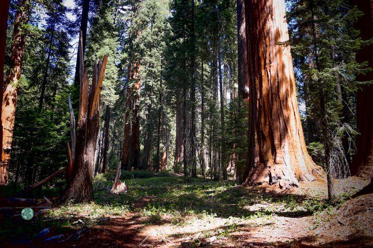 Muir Grove | Sequoia National Park | National Parks Tips | The 3 Star Traveler