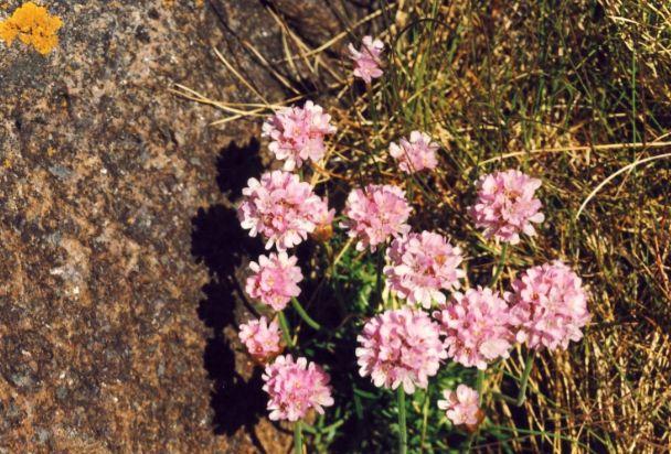 rosa Strandblumen, Foto: S. Kretschmer