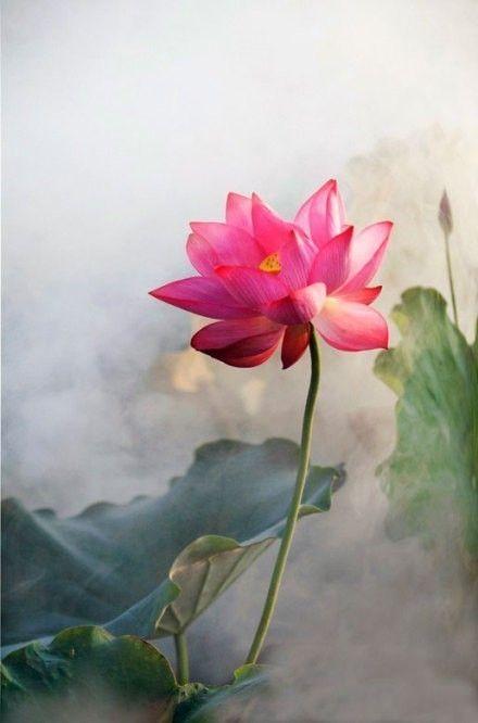 """le lotus,origine de la vie, mystère et secret, mort et renaissance. lien entre le ciel et la terre, """"le livre de Thot"""", D.Michaud"""
