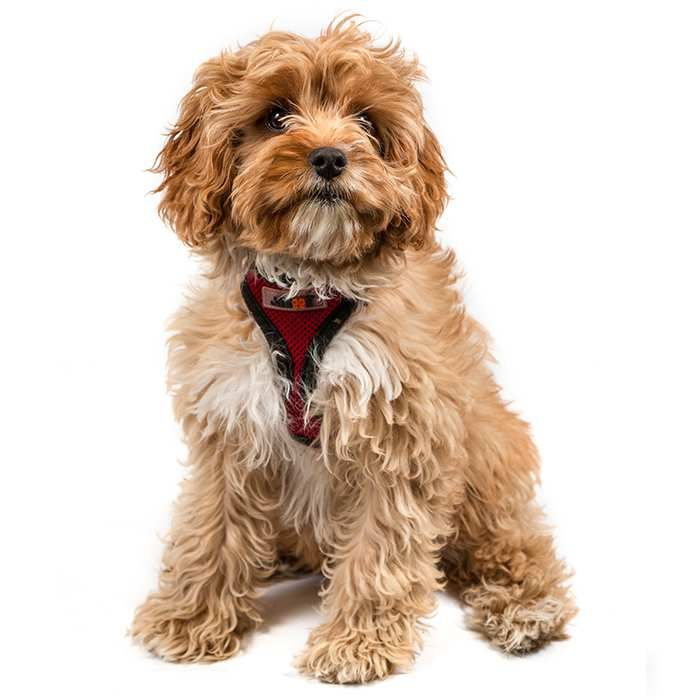 The Complete Guide to the Cavapoo (With images) Dog breeds