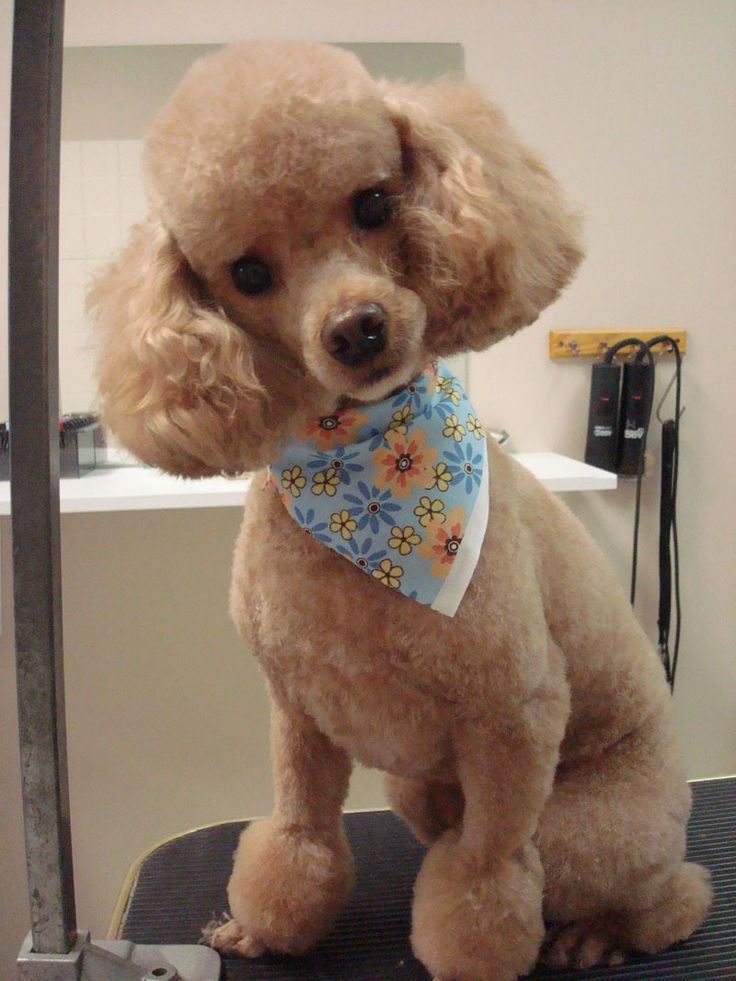 Best 25 Poodle Haircut Ideas On Pinterest Poodle Teddy