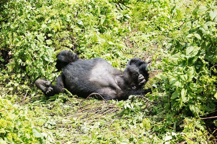 Gorilla Trekking in Volcanoes National Park Rwanda.
