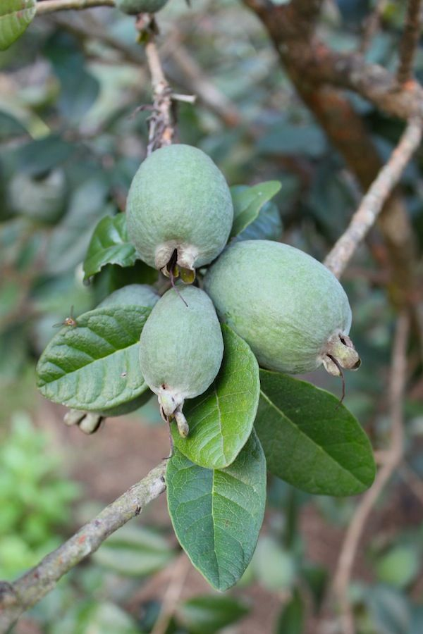 Feijoa or Guavasteen is a fruit tree native to the highlands of Eastern South America. The ripe fruit is juicy and has a sweet, aromatic flavour