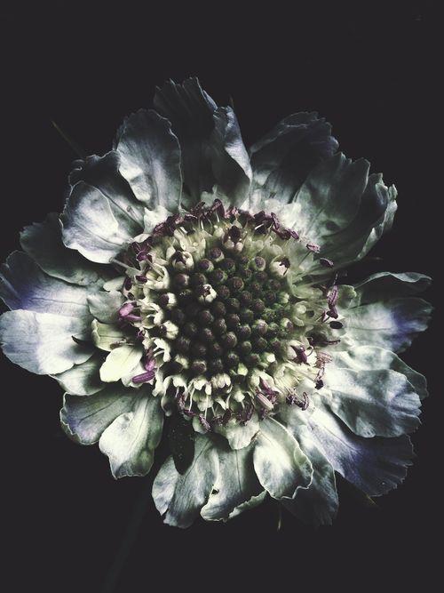 SCABIOSA - Ashley Woodson Bailey - Florography