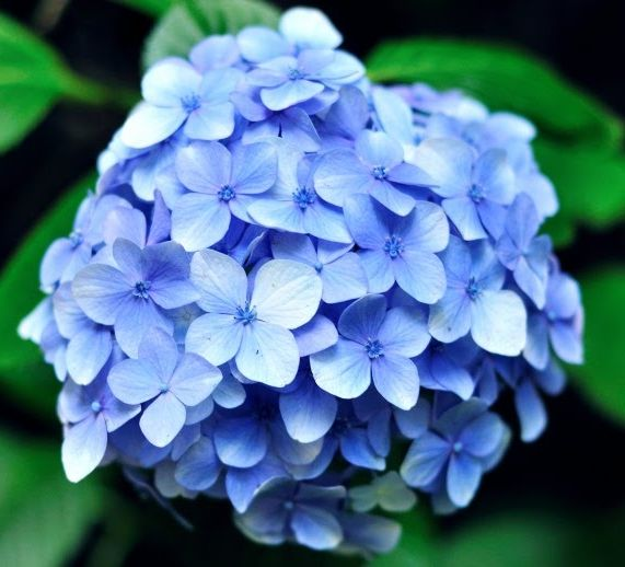 How Much Is A Hydrangea Bush