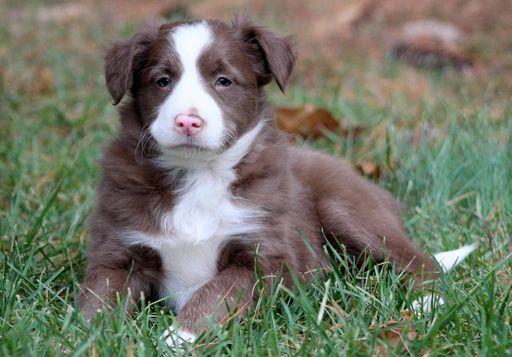 Border Collie puppy for sale in MOUNT JOY, PA. ADN-52553 on PuppyFinder.com Gender: Male. Age: 6 Weeks Old