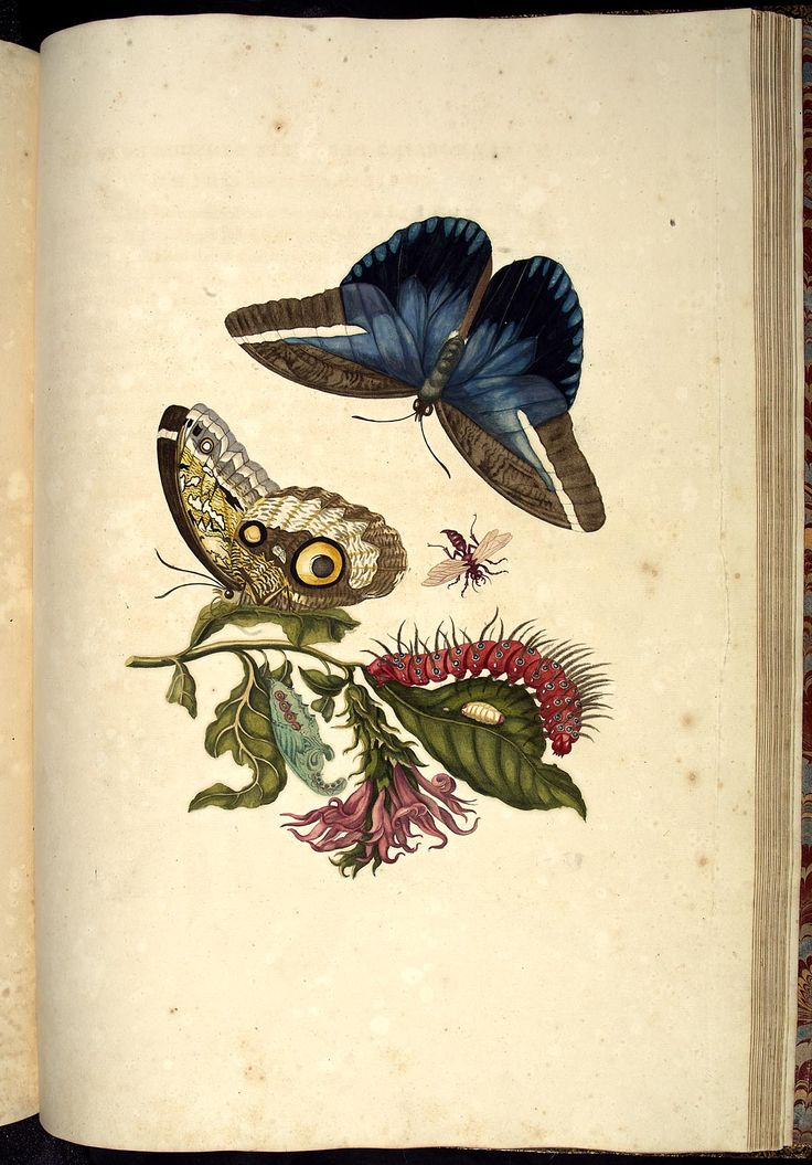 Beautfiul Nature captured in this illustration  Acanthaceus, vlinder en pop van een Caligo-vlinder en andere insecten
