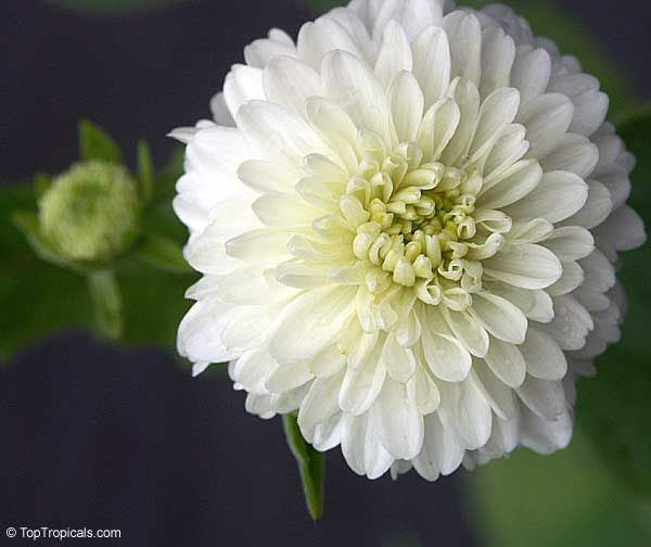 White Chrysanthemum Pom Tree Daisy Treeclick