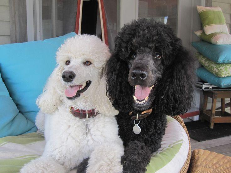 My Standard Poodles