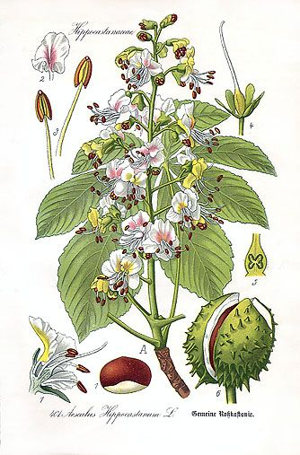 Aesculus hippocastanum - Aesculus hippocastanum is a large deciduous tree, commonly known as horse-chestnut or conker tree