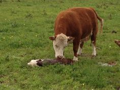 About Miniature Herefords