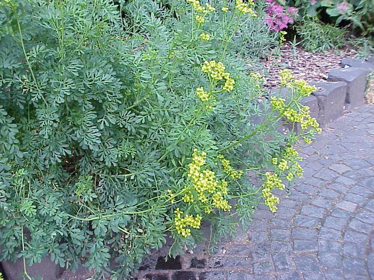 Rue (Ruta graveolens) Herb of Grace.