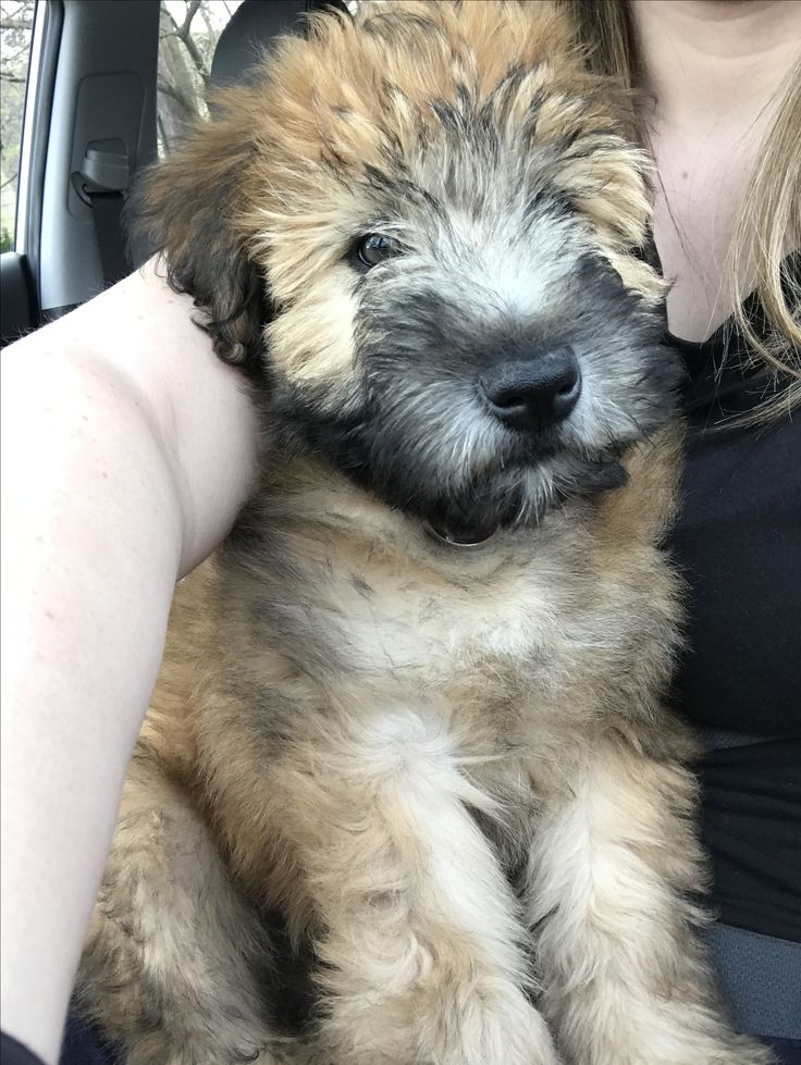 Bella soft coated wheaten terrier cute dog pictures