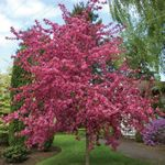 Malus royal Raindrops(TM) : a beautiful purple foliage crab apple that features a gorgeous flurry of deep pink flowers.