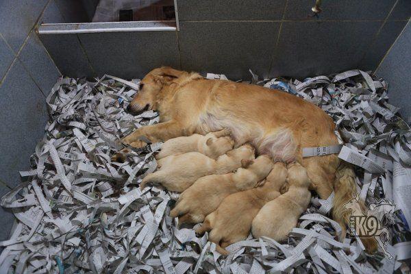 Satılık Golden Retriever Yavruları   Club K9 Köpek Çiftliği ve Binicilik Merkezi