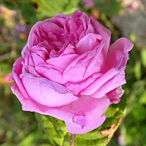 Rose : Bullata