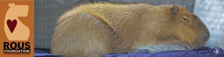 Capybara Madness