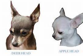 Deer Type Chihuahua - Bing Images