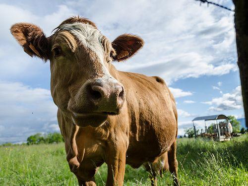 La vache - Saint-Genis-Pouilly, France