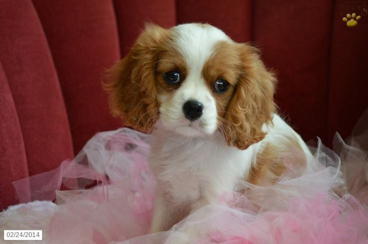 Cavalier King Charles Spaniel for Sale   puppy-cavalier-king-charles-spaniel