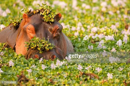 Stock Photo : Hippo covered in plants in waterhole, Mana Pools National Park Zimbabwe, Africa