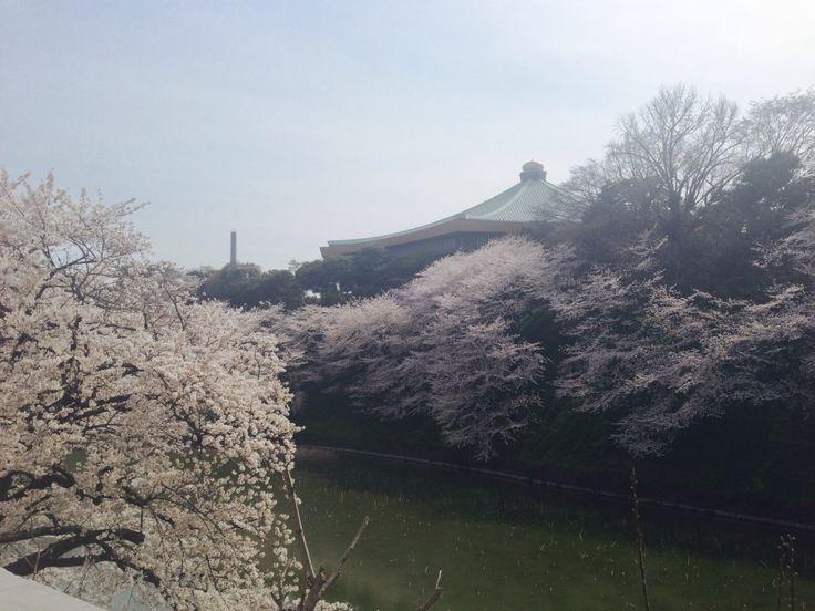 皇居のお堀の桜 武道館と共に