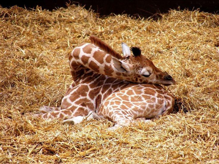 How do Giraffes sleep...here's one way