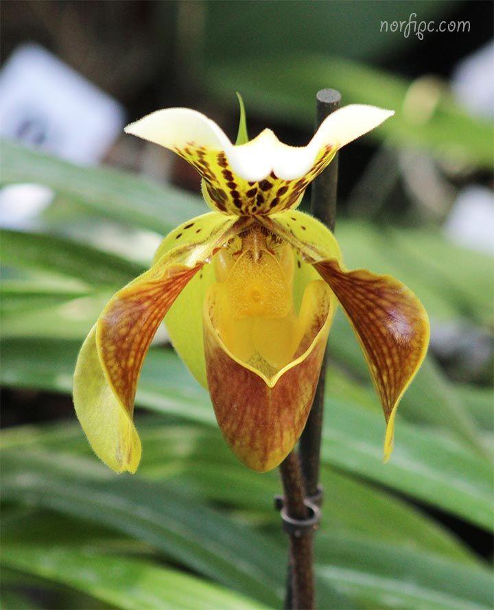 f8a83396727 Flor de una Orquídea Zapatilla de la Reina, planta del genero Cypripedium  Zapatillas De Dama