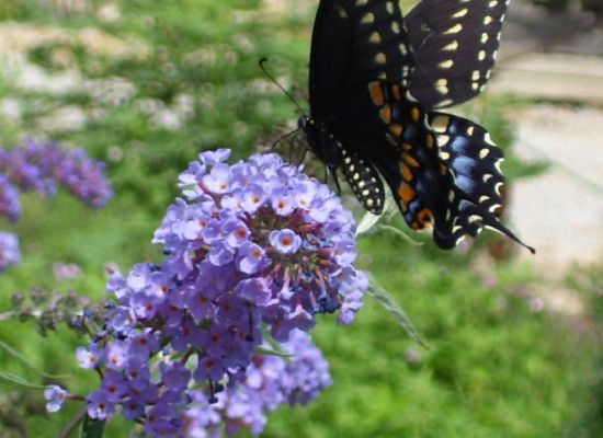 4 Nanho Blue Butterfly Bush Pictures