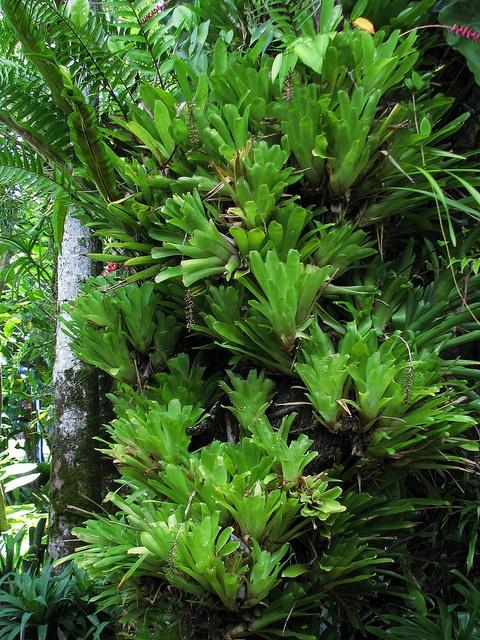 Large Aechmea gamosepala colony on a tree stump by tanetahi, via Flickr