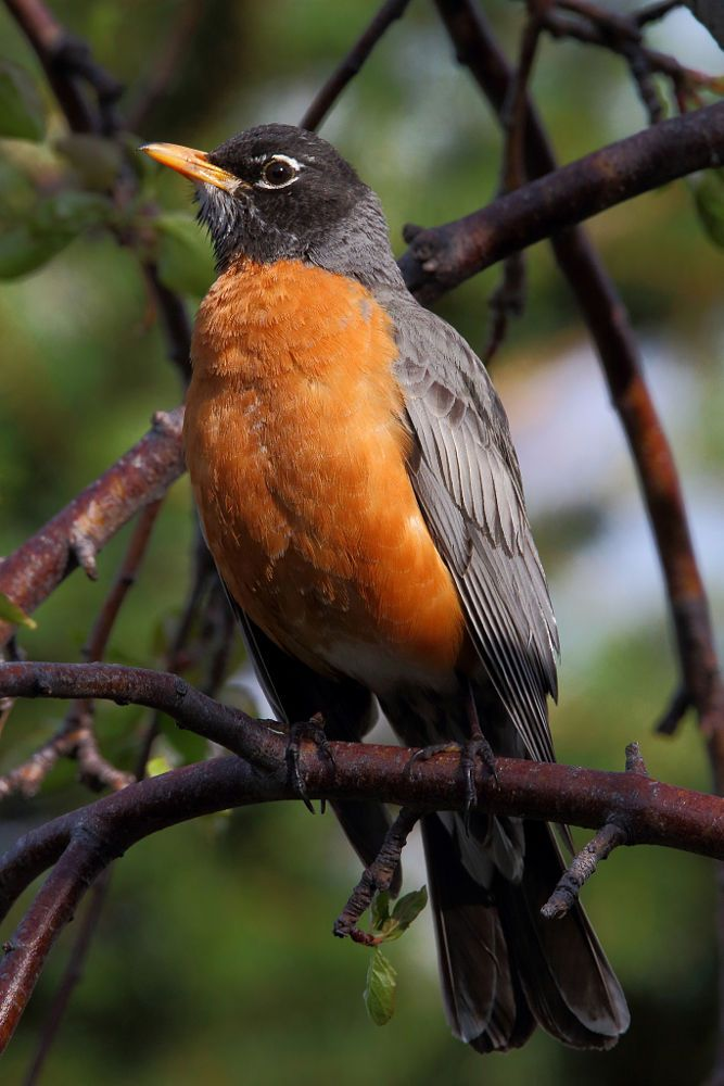 American Robin perched in an apple tree in Wyoming. - title Spring Robin