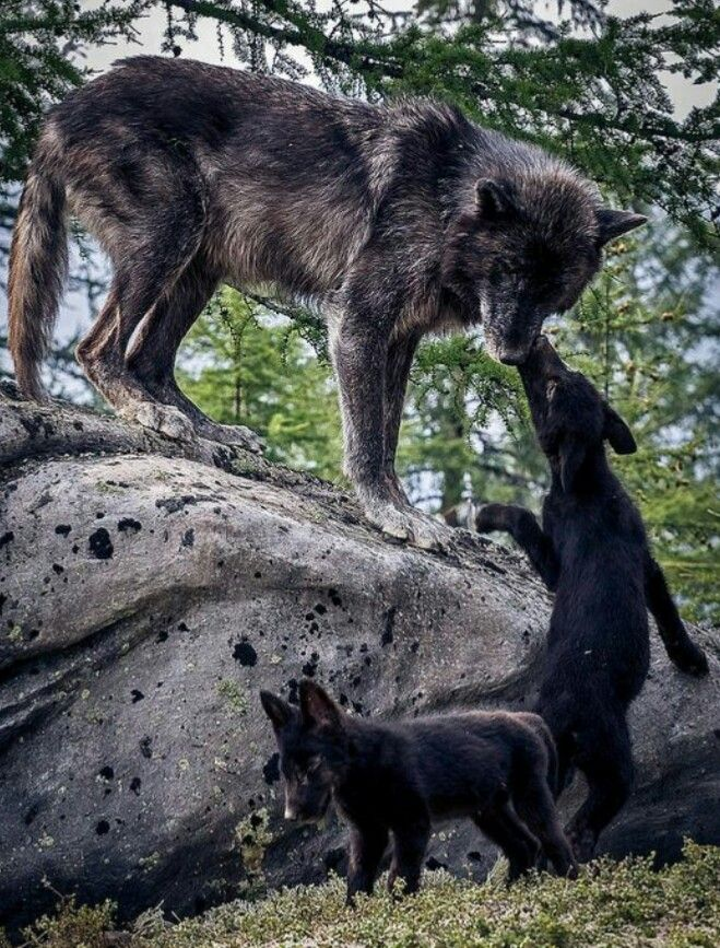 Wolf black and baby