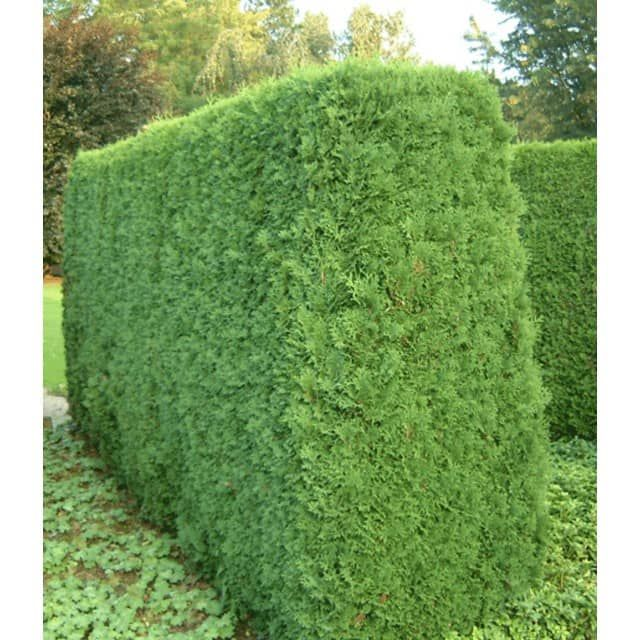 15 best ideas about thuja hecke on pinterest wurzelnde rosen thuja pflanze and thuja. Black Bedroom Furniture Sets. Home Design Ideas
