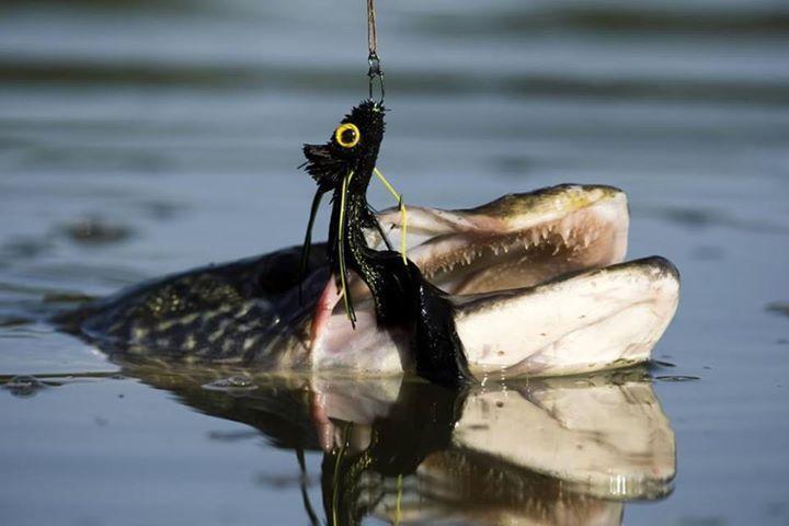 Dahlberg's diver versus 850 teeth...#FlyFishing #Fluefiske #Flugfiske #Fluefiskeri #Fliegenfischen #FlyFish #Perhokalastus #PecheMouche #Vliegvissen #EsoxLucius #PikeonFly #TheTugistheDrug #CatchAndRelease #AhrexHooks #StreamerFishing #FlyFishingNation #FlyTyingNation #flyfishingphotography #repyourwater #flyfishingweekly #flyfishingdaily #fishingpicoftheday #fishing #flyfishing #fishinglife #fishingtrip #fishingboat #troutfishing #sportfishing #fishingislife #fishingpicoftheday…
