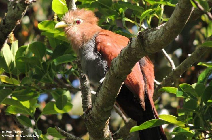 Squirrell Cuckoo. Pete's birding trip in Costa Rica, March 2014, part 2: http://site.onlinenaturemall.com/blog1/2014/04/04/petes-birding-trip-to-costa-rica-part-2/
