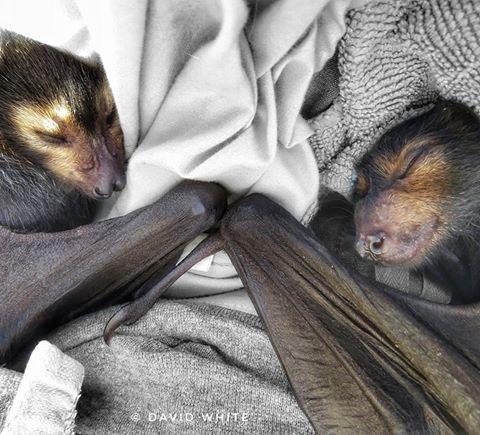 Flying Fruit bats in rehab