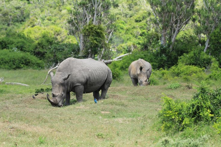 Rhino with attendant starling