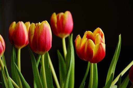 Tulipány, Jarní Květiny, Květ