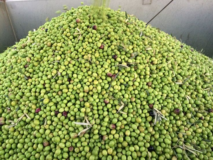 Batch of fresh Hojiblanca olives